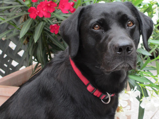 Labrador Retriever Zucht Welpen Vom Wildgraben Grossostheim